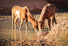 Wild horses drinking (gorbould) Tags: 2017 monumentvalley navajotribalpark usa utah america butte buttes horse horses southwest wildhorses