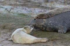 Grey Seal mother and pup (nikodemmatuszkiewicz) Tags: wildlife wild wildlifephotography wildlifebeauty nature noncaptive naturespectacle animals autumn mammals seaside northsea animal mammal seamammals breedingseason greyseals seals rare beach