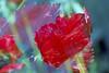 07 07 01 FLEURS SUPERPOSEES 02 (jbsurtainville) Tags: fleurs fleurssuperposees pavots