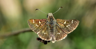 20171129  Tasmanian Skipper, Pasma tasmanicus 2 - Four Springs Lake
