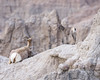 House Arrest ((JAndersen)) Tags: badlands badlandsnationalpark southdakota nature animals wildlife bighornsheep calf nikon d7200