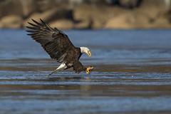 Form... (DTT67) Tags: eagles birds birdofprey bif hunting fishing nature wildlife nationalgeographic susquehanna canon 1dxmkii 500mmii 2xtciii autumn