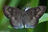 Tagiades gana meetana (Large Snow Flat) (GeeC) Tags: animalia arthropoda butterfliesmoths cambodia hesperiidae hesperioidea insecta kohkongprovince largesnowflat lepidoptera nature pyrginae skipperbutterflies tagiades tagiadesganameetana tatai