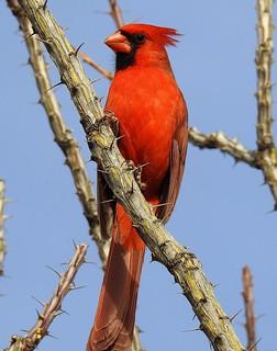 Northern Cardinal-112917- (32)