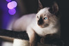 Robin (Kai Metso) Tags: canon 5d classic 18 85mm prime cat kitten christmas ambient light animal eyes siamese thai bokeh shallowdof