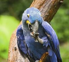 Nashville Zoo 08-21-2016 - Hyacinth Macaw 10 (David441491) Tags: hyacinthmacaw bird macaw nashvillezoo