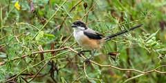 20171123-EM123435 (shutterblades) Tags: birds longtailedshrike olympusem1mkii olympusmzuiko300mmf4pro14tc seletaraerospacehub seletarwestlink