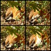 A Foxy Montage ... (Tricia in Kent UK ....☺) Tags: afoxymontage fox foxy mammel montage garden fang tooth foxfang foxtooth maidstonekentuk