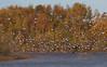2017_11_0261 (petermit2) Tags: greylaggoose goose geese hatfieldmoors hatfield lindholme doncaster southyorkshire yorkshire peat bog humberheadpeatlands humberhead naturalengland nnr