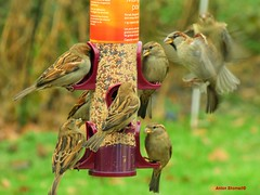 Crowded House (Anton Shomali - Thank you for over 1 million views) Tags: crowded bird feeder with hungry birds flying eating seed seeds birdfeeder house nature season