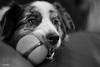 A Flanking Approach (Jasper's Human) Tags: aussie australianshepherd chuckit dog ball play