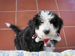 Babysitting Georgie (Bennilover) Tags: friends friend puppy dog dogs bernedoodle 10weekoldpuppy babysitting puppies gracie georgie
