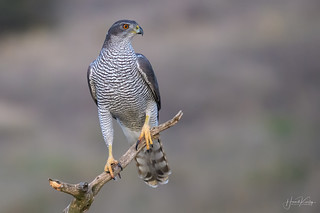early morning Goshawk before sunrise, not to shabby for 14400 ISO with a bit of clean up, choice was photo or no photo