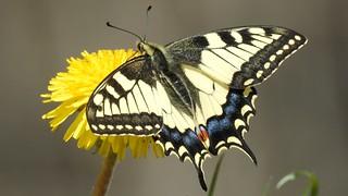 Swallowtail (Papilio machaon) Pääsusaba