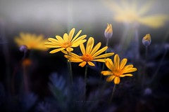 morning songs.. (salihseviner) Tags: morningsongs flowers floralwork yellow abstract nature flower bright