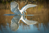 Great Egret with Reflection (ronniegoyette) Tags: oct2017 waterfowl great egret droh dailyrayofhope