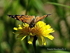 Butterfly (pamelamacchiavello) Tags: butterfly insect flower petal pollen pollination nectar