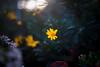 ILCE-7M2-04847-20171208-1614 // Minolta MD 50mm 1:1.7 (Otattemita) Tags: 50mmf17 florafauna minolta minoltamdmdiii50mmf17 fauna flora flower nature plant wildlife minoltamd50mm117 sony sonyilce7m2 ilce7m2 50mm cnaturalbnatural ota
