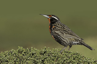 and... from beige to flamboyant- Long tailed Meadowlark