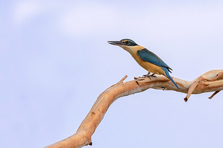 another sacred kingfisher