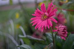 Daisy after the rain (BLiTzBaLLeRx) Tags: pink sony nex 6 bokeh rain drops xfujinon 119 f50mm