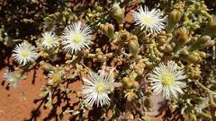 Monilaria obconica (1), NGID797457107