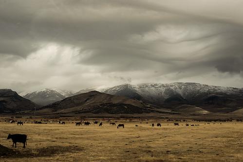 171110-cattle-cows-open-range.jpg