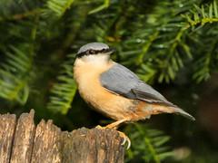 Nuthatch (Deanne Wildsmith) Tags: nuthatch staffordshire wolseleynaturecentre bird