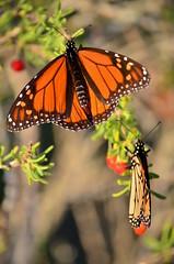 Monarchs (Marsh, D.) Tags: danausplexippus danainae nymphalidae monarchbutterfly butterflies monarchs milkweedbutterfly commontiger wanderer blackveinedbrown lepidoptera wakullacounty saintmarksnationalwildliferefuge stmarks florida nationalwildliferefuge nikond5100 marshd