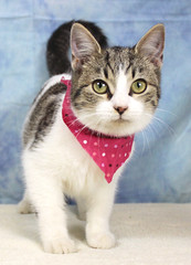 A37159369_Abby (kentucky humane society) Tags: pet animal blue khs shelter dog white black cat tiger orange yellow