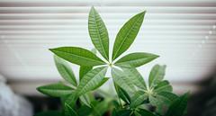 上向きに (Juni Safont) Tags: bokeh grain green plant nature