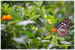 淡紋青斑蝶   Blue Tiger, Tirumala limniace (Alice 2018) Tags: hongkong 2017 winter nature butterfly flower bokeh sonya6000 a6000 sony adaptor manuallens emount contaxgmount gmount contax carlzeiss zeiss 90mmf28 ilce6000 sonnar plant saariysqualitypictures aatvl02 autofocus aatvl01 aatvl03 aatvl04 aatvl05