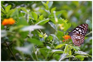 淡紋青斑蝶   Blue Tiger, Tirumala limniace