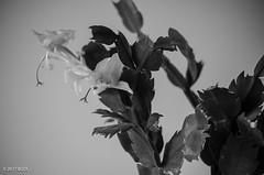 New Flowers! (BGDL) Tags: lightroomcc nikond7000 afsnikkor50mm118g bgdl monochrome niftyfifty blackandwhite christmascactus 7daysofshooting week20 new blackandwhitewednesday