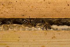 Honey bees (Apis mellifera) on honey comb in hive (Ian Redding) Tags: apismellifera british fauna honeybee hymenoptera nature uk wildlife apidae beehive beeswax greeting hexagonal hexagons hive honey honeybees honeycomb insects inside nest tongue within