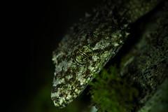 Wyberba leaf-tailed gecko (Saltuarius wyberba) macro (phl_with_a_camera1) Tags: australia bush nature wilderness qld queensland wyberba leadtailed gecko saltuarius leaf tailed lizard closeup night close macro herp herping reptile animal wildlife leaftailed