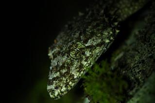Wyberba leaf-tailed gecko (Saltuarius wyberba) macro