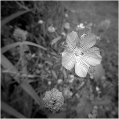 Linseed (JulieK (thanks for 5 million views)) Tags: hmbt monochrome bw squareformat canonixus170 beautifulnature flower linseed garden blackandwhite bokeh macro