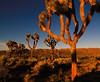 Sunrise on Joshua trees (Robyn Hooz (away)) Tags: alba dawn california trees joshua desert deserto grass dry secco terra land