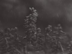 774801 (lottetoppo) Tags: olympus omd em1mkii 40150mm fl600r flash raindrop rain flower blackwhite