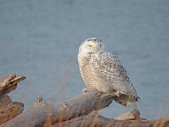 Snowy Owl (slashrick) Tags: snowyowl buboscandiacus