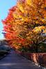 momiji (peaceful-jp-scenery (busy)) Tags: momiji maple plum flower autumn iwamotoyama fuji モミジ 紅葉 秋 岩本山公園 富士市 静岡 日本 fujifilm xt20 xf1855mmf284rlmois