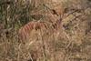 Nyala female  (Tragelaphus angasii) (Hernan Linetzky Mc-Manus) Tags: savannah savana southafrica africa sudafrica animal safari natgeo ng wild camp manyeleti limpopo honeyguide linetzky big5 nikon nature mammal animals wildlifephotography pilanesberg nikonphotography photos wildanimals africannature naturaleza salvaje waterbuck kobus ellipsiprymnus kudu tragelaphus impala aepyceros gacela springbok nyala steenbok