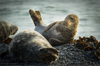 grey seal (II)