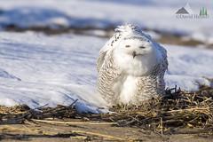 The Puffy Shirt (dhfore) Tags: snowyowl owl raptor bird 2017 connecticut