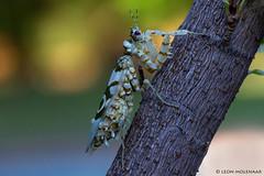 Spiny Flower Mantis (leendert3) Tags: leonmolenaar southafrica nature wildlife insects prayingmantis ngc npc