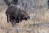 Nyala Male (mayekarulhas) Tags: krugerpark mpumalanga southafrica za nyala male krugernationalpark wildlife wild canon antilope