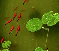 red & green (gianmaria.colognese) Tags: water acqua fontana pesci rossi red green verde fish