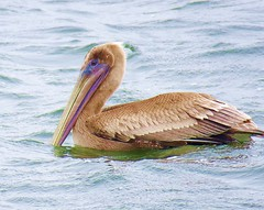 350 Brown Pelican (baypeep) Tags: