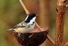 Scounging coal tit (david.england18) Tags: coaltit smallbirds various tits blue great coal localpark queensparkheywood coconut seed canon7dmkll canonef70200mm28lisllusm birdsuk